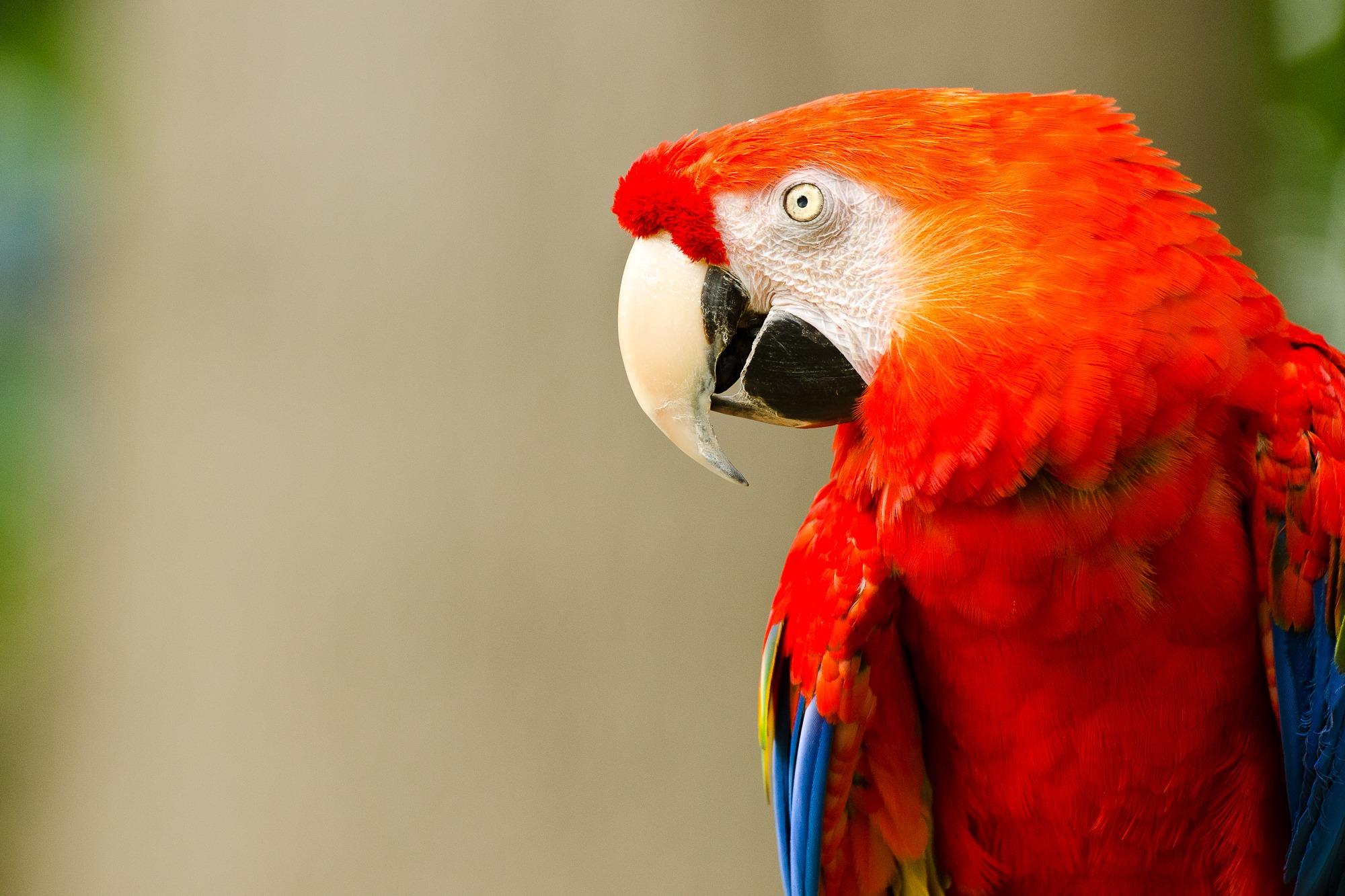 parrot st louis
