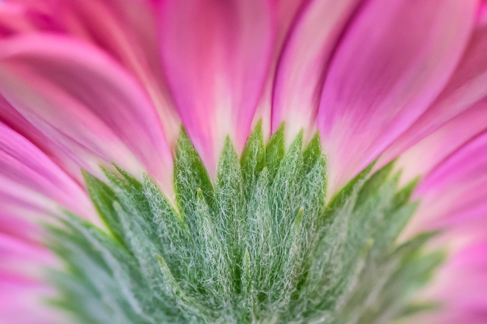 flora gerbera